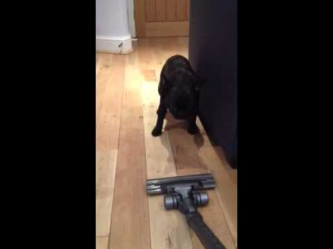 Gizmo the French Bulldog vs The Vacuum of...