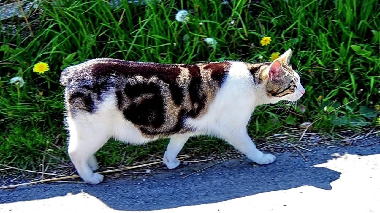Мейн-кун. Выставка кошек 22.04.2017 Пушистые любимцы в центре .