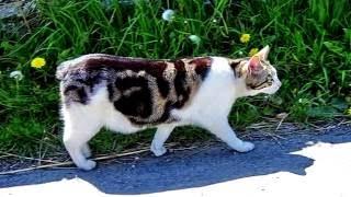 Порода кошек. Мэнкс (Мэнская бесхвостая кошка).Красивая кошка с очаровательными глазами.