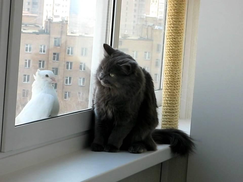 Кошка и голубь - youtube.