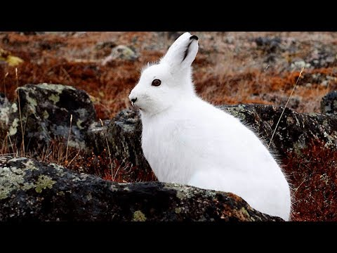 Arctic Hare Information  - Arctic Hare Facts For Kids - Knowledge about Arctic Hare