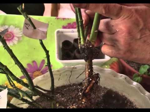 Как подготовить саженцы цветов к посадке (саженцы роз и клематисов)