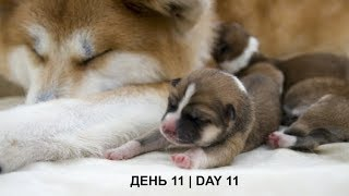 ЩЕНКИ #АКИТА ОНЛАЙН | #AKITA PUPPIES ONLINE | PET 犬 | DAY 11