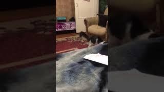 Кошка умнее собаки