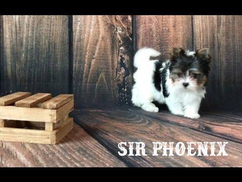 Sir Phoenix AKC Mini Biewer Terrier Boy