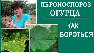 Чем лечить пятна на листьях огурца. Болезни огурцов Пероноспороз