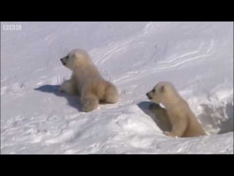 Mother Polar Bear And Cubs Emerging From Den Planet Earth BBC - This bear is rolling down a hill is having the time of his life
