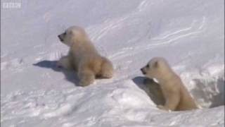 Mother polar bear and cubs emerging from den - Planet Earth - BBC