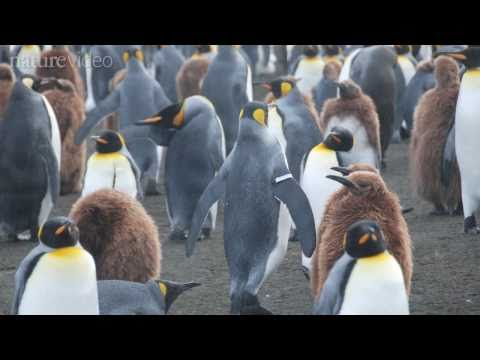 Penguins: The Flip Side Of Flipper Bands - By Nature Video
