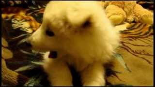 Щенок белой швейцарской овчарки - Puppy