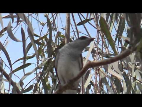 Large woodshrike or Tephrodornis gularis  Call and Closeup Video