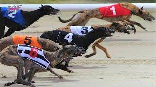 Dog race - Greyhounds race