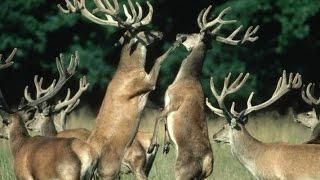 Разведение охотничьих животных - Оленеводство, новые технологии разведения оленей в России