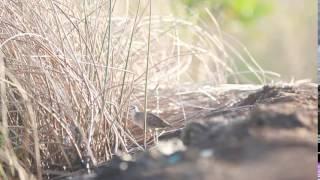 Porzana Cinerea, Tikusan Alis Putih