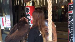 イヌワシ参拝 浅草鷲神社/ Lal the golden eagle appears at Asakusa Eagle shrine