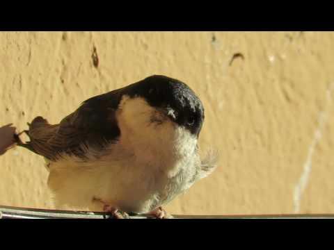 +Avión común (Delichon urbicum). Vídeo 2.