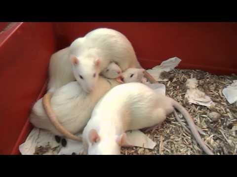 Les Voleurs de Miettes, FA des rats de labo