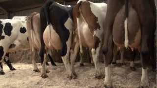 3-way crosses on Henk Schoonvelde's dairy farm in Holland