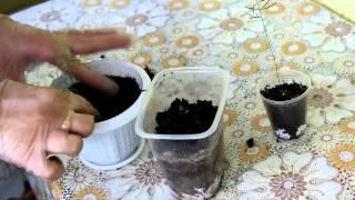 Аспарагус из семян - пикировка. [Надежда и Мир]