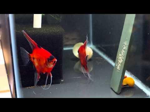 Koi Angelfish Pair 2040