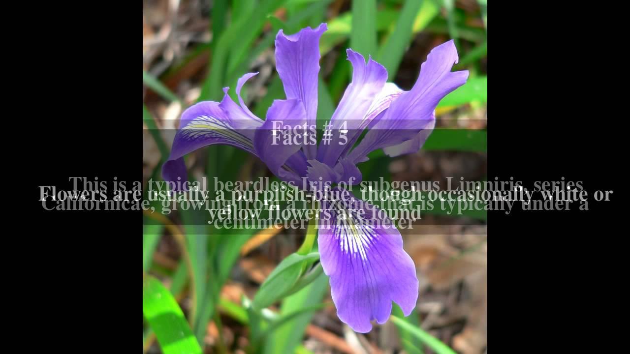 Iris douglasiana top 7 facts youtube iris douglasiana top 7 facts izmirmasajfo