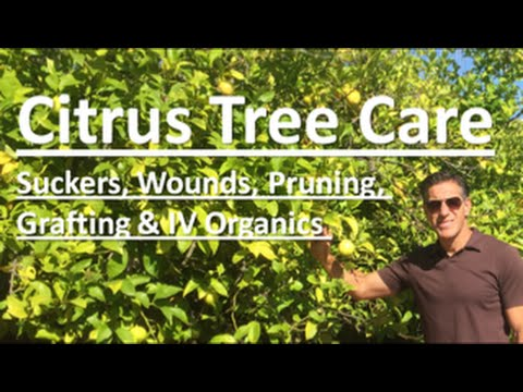 Citrus Tree Care Topics Suckers Wounds Pruning