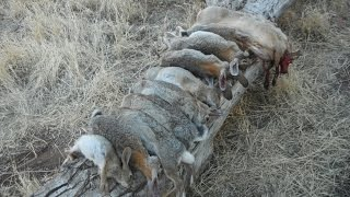 How to butcher your rabbit Small Game Hunting Part 2 of 3