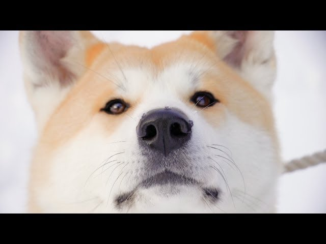 """Dog View"" from Akita-inu, home of Japan's adorable Akita dogs / 秋田犬がふるさとをストリートビュー"