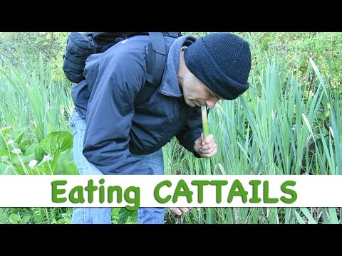 SURVIVAL!  Wild cattails for a quick nutritious food