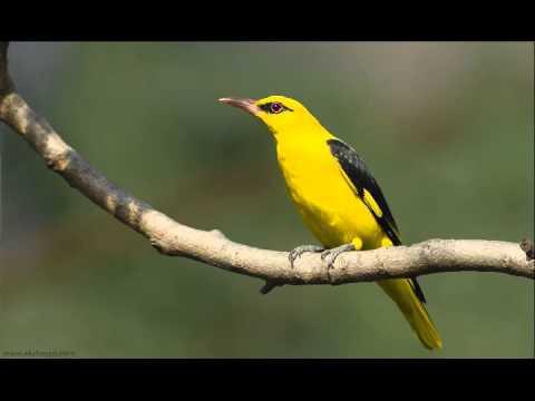 suara burung kepodang pemikat mp3 (golden orioles)