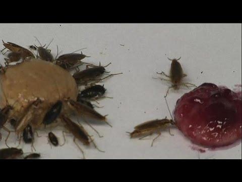 Hamamböceklerindeki savunma mekanizması - science