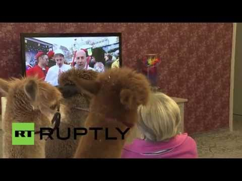Elderly Care Home in Germany Uses Therapy Alpacas to Make Residents Happier