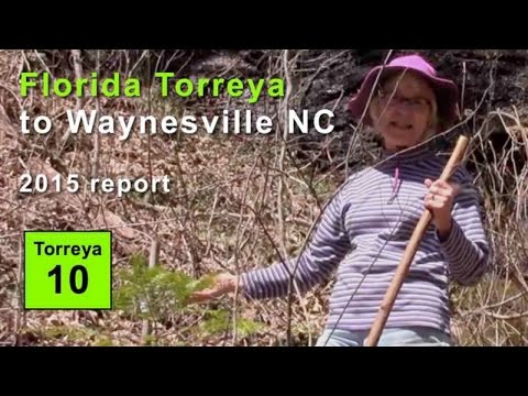FL Torreya to North Carolina: 2015 progress report (Waynesville, NC)