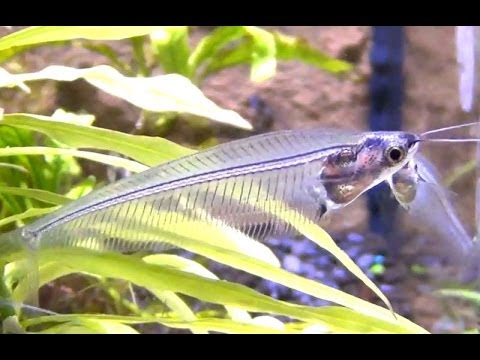 Glass catfish - Kryptopterus minor - YouTube