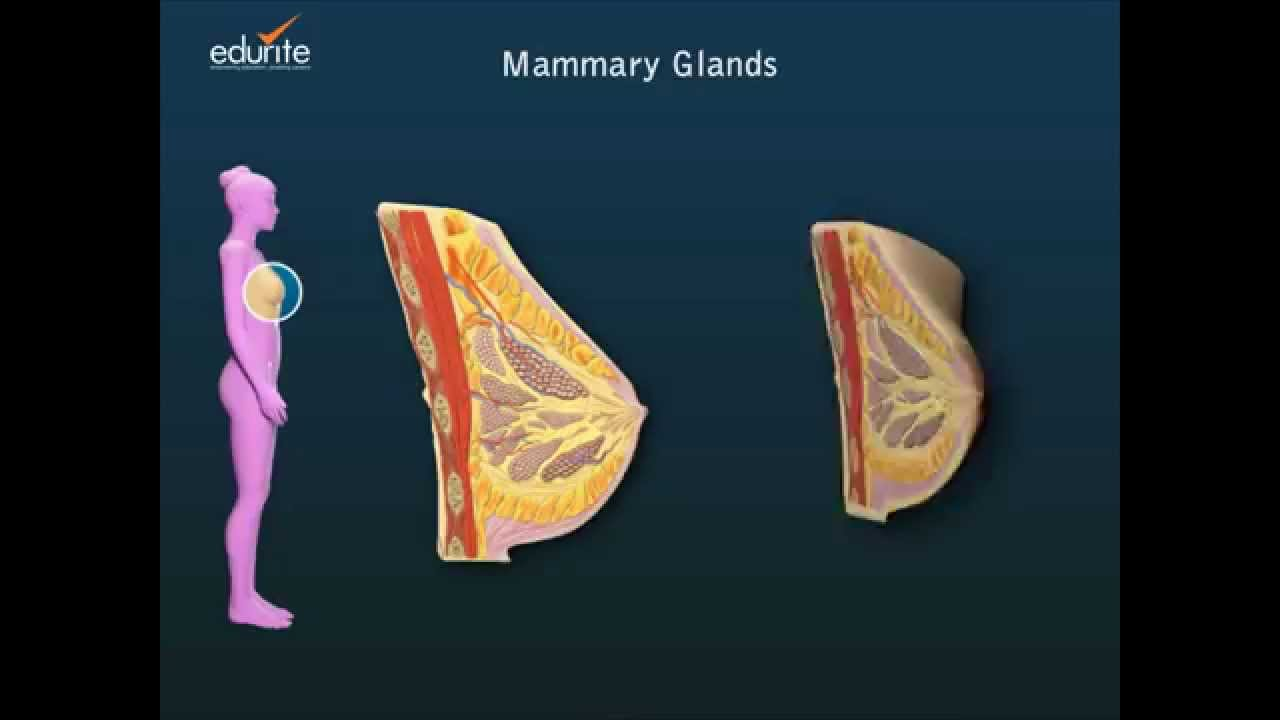 Mammary Glands of the Female Reproductive System - YouTube