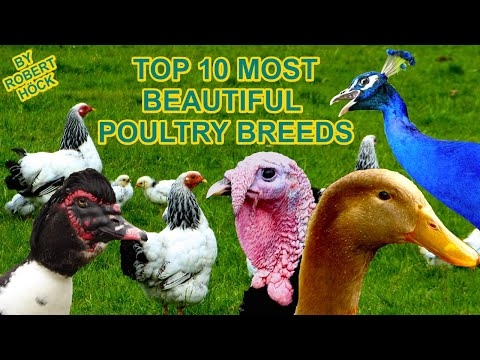 TOP20 MOST BEAUTIFUL POULTRY, rare breeds of chicken, geese, ducks, guinea fowl, pigeons film