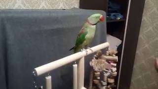 Александрийский попугай выполняет команды