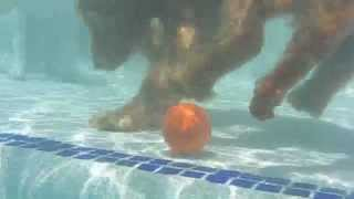 6 Month Old Cocker Spaniel Free Dives Underwater In Swimming Pool.