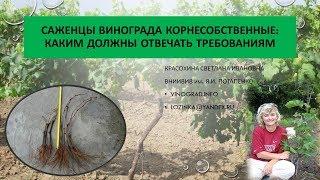 Корнесобственные саженцы винограда. Красохина СИ, апрель 2017