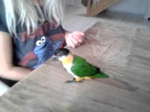 Grünzügelpapagei Sully spielt toter Vogel