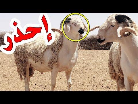 Image result for النصب والاحتيال في اضحية العيد