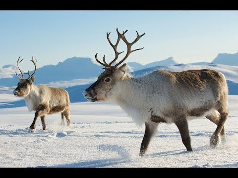 Arctic Animals Documentary NatGEO | Arctic Animals Facts
