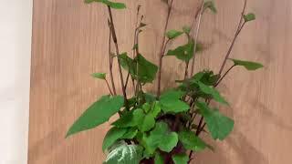 Cách trồng khoai lang lấy củ 😃