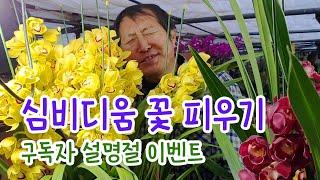 심비디움 꽃피우기 (구독자 설명절 이벤트)