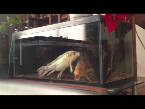 Butterfly koi spawning indoor breeder tank youtube for Indoor koi aquarium