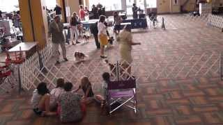 Bluegrass Classic 2013 - Cavalier King Charles Spaniel - Best In Breed