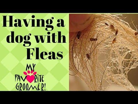 Lets talk about fleas