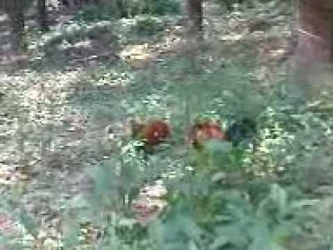 Ayam hutan Jerantut