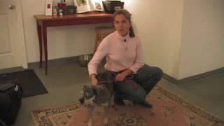 Dog Breeds : How To Select A Miniature Schnauzer