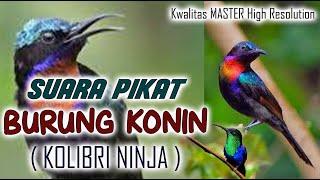 Download Lagu SUARA PIKAT BURUNG KONIN atau KOLIBRI NINJA yang JERNIH dan TERBUKTI AMPUH mp3